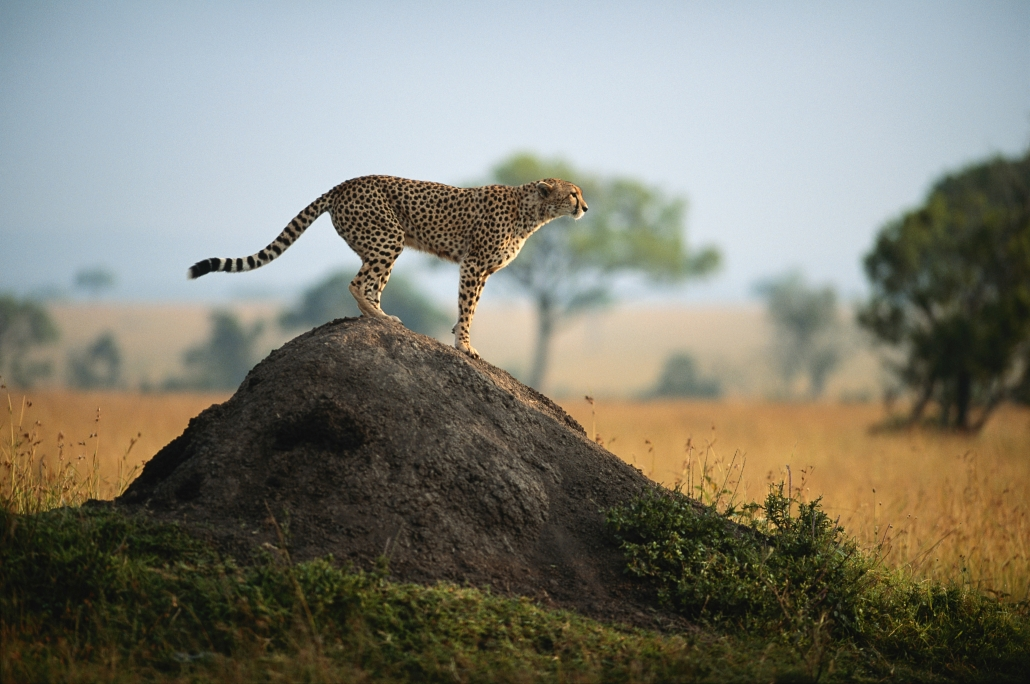 The cheetah is an animal that can teach you a lot about the cause of sprained ankles.